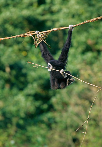 PRM 10 GL0009 01 © Kimball Stock White-Handed Gibbon Hanging From Branch