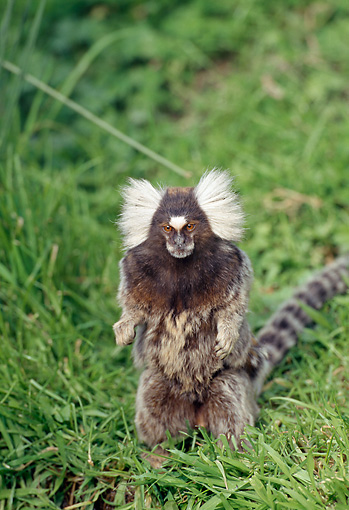 PRM 10 GL0010 01 © Kimball Stock Common Marmoset Sitting On Grass
