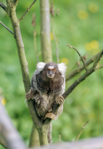 PRM 10 GL0012 01 © Kimball Stock Portrait Of Common Marmoset Sitting In Tree