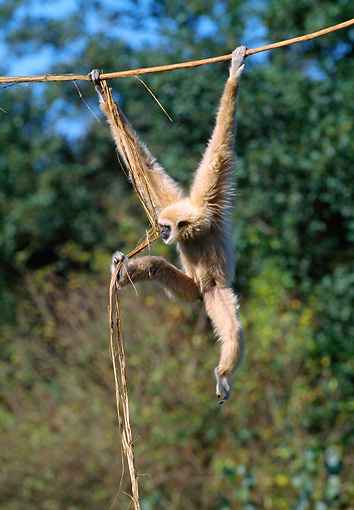 PRM 10 GL0014 01 © Kimball Stock White-Handed Gibbon Hanging From Vine