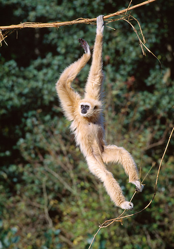 PRM 10 GL0015 01 © Kimball Stock White-Handed Gibbon Hanging From Vine