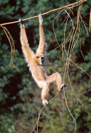 PRM 10 GL0016 01 © Kimball Stock White-Handed Gibbon Hanging From Vine