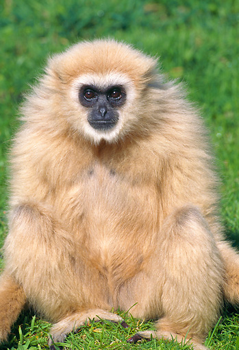 PRM 10 GL0017 01 © Kimball Stock Portrait Of White-Handed Gibbon Sitting On Grass