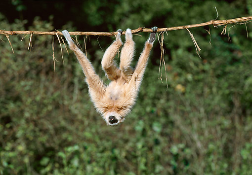 PRM 10 GL0020 01 © Kimball Stock White-Handed Gibbon Hanging Upside-Down From Vine