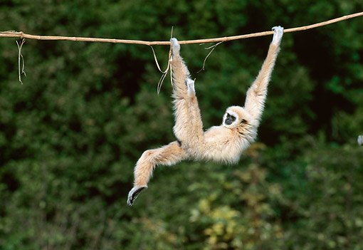 PRM 10 GL0021 01 © Kimball Stock White-Handed Gibbon Hanging From Vine