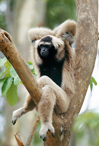 PRM 10 MH0001 01 © Kimball Stock Pileated Gibbon Sitting On Tree Branch Thailand