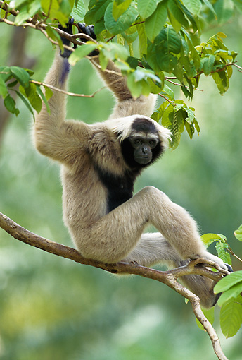 PRM 10 MH0002 01 © Kimball Stock Pileated Gibbon Sitting On Tree Branch Thailand