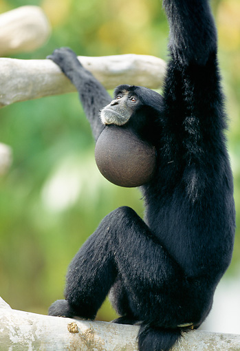 PRM 10 MH0003 01 © Kimball Stock Siamang Sitting On Tree Branch Southeast Asia