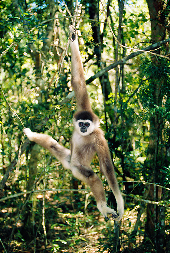 PRM 10 MH0004 01 © Kimball Stock White-Handed Gibbon Swinging On Tree Branches