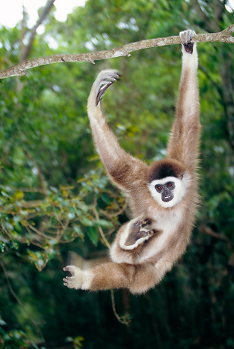 PRM 10 MH0005 01 © Kimball Stock White-Handed Gibbon Swinging On Tree Branches