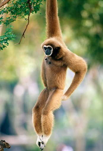 PRM 10 MH0006 01 © Kimball Stock White-Handed Gibbon Hanging From Tree Branch