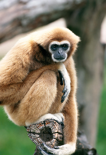 PRM 10 MH0008 01 © Kimball Stock Portrait Of White-Handed Gibbon Sitting On Tree Branch