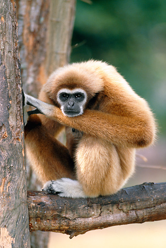 PRM 10 MH0009 01 © Kimball Stock Portrait Of White-Handed Gibbon Sitting On Tree Branch