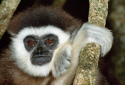 PRM 10 MH0010 01 © Kimball Stock Head Shot Of White-Handed Gibbon Sitting On Tree Branch
