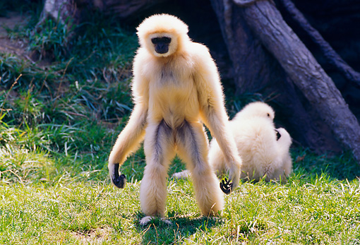 PRM 10 RK0014 01 © Kimball Stock White-Handed Gibbon Standing On Grass