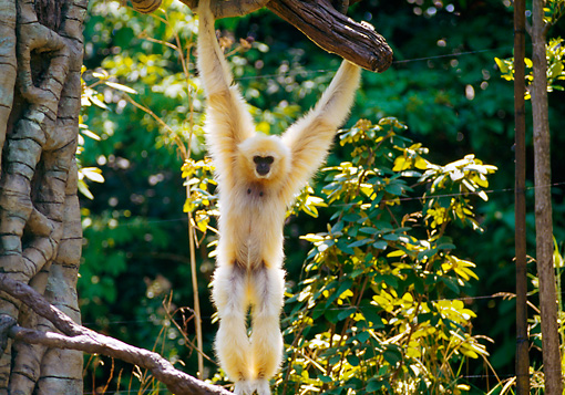 PRM 10 RK0015 01 © Kimball Stock White-Handed Gibbon Hanging From Tree Branch