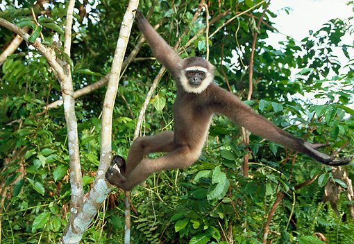 PRM 10 WF0001 01 © Kimball Stock Muller's Bornean Gibbon Hanging From Tree Branch