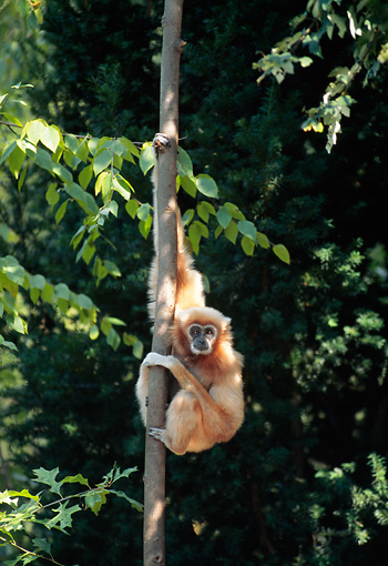 PRM 10 CE0001 01 © Kimball Stock Gibbon Hanging On Tree Trunk