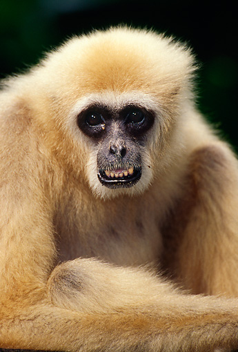 PRM 10 TL0002 01 © Kimball Stock Portrait Head Shot Of Male White-handed Gibbon