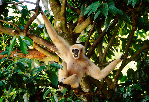 PRM 10 TL0005 01 © Kimball Stock Male White-Handed Gibbon Hanging From Branch In Tree