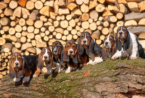 PUP 01 AB0001 01 © Kimball Stock Group Of Basset Hound Puppies Sitting On Log By Woodpile