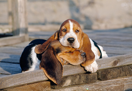 PUP 01 CB0005 01 © Kimball Stock Two Basset Hound Puppies Resting On Wooden Deck
