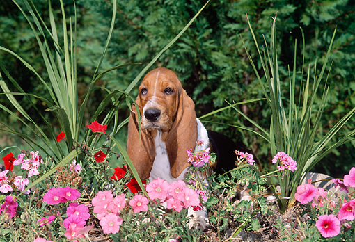 PUP 01 CE0025 01 © Kimball Stock Basset Hound Puppy Sitting In Pink Flowers