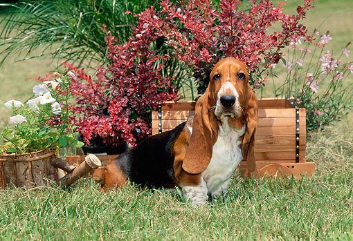 PUP 01 CE0026 01 © Kimball Stock Basset Hound Puppy Sitting In Grass By Planter Boxes With Flowers