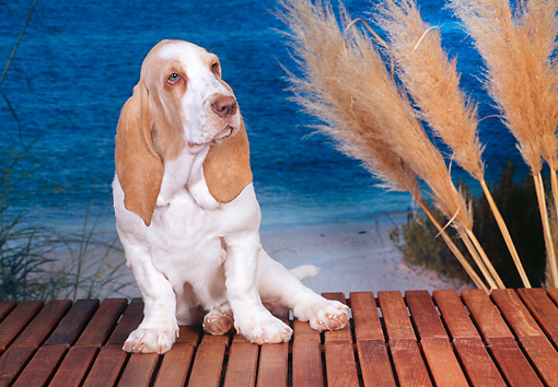 PUP 01 CE0029 01 © Kimball Stock Basset Hound Puppy Sitting On Bench At Beach