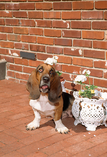 PUP 01 FA0002 01 © Kimball Stock Basset Hound Puppy Sitting On Brick Patio By White Flowers