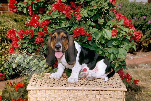 PUP 01 FA0003 01 © Kimball Stock Basset Hound Puppy Sitting On Wicker Basket By Red Flowers