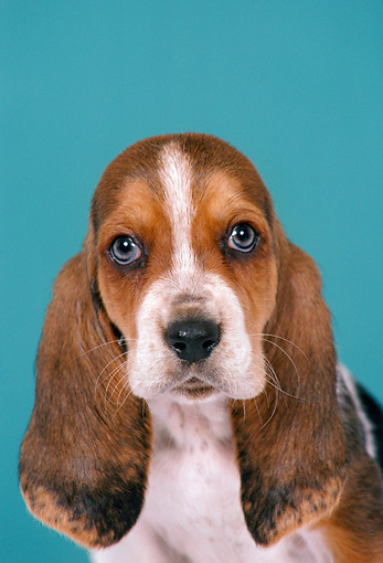 PUP 01 FA0006 01 © Kimball Stock Head Shot Of Basset Hound Puppy In Blue Studio