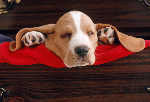 PUP 01 GR0018 01 © Kimball Stock Humorous Shot Of Basset Hound Puppy Sleeping In Drawer Ears Out
