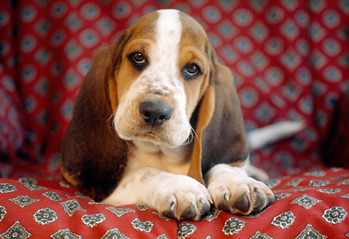 PUP 01 GR0031 01 © Kimball Stock Close-Up Of Basset Hound Puppy Laying On Cushion