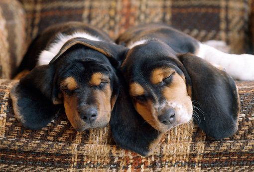 PUP 01 GR0047 01 © Kimball Stock Portrait Of Basset Hound Puppies Sleeping On Sofa