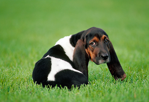 PUP 01 GR0048 01 © Kimball Stock Basset Hound Puppy Sitting On Lawn Looking Back