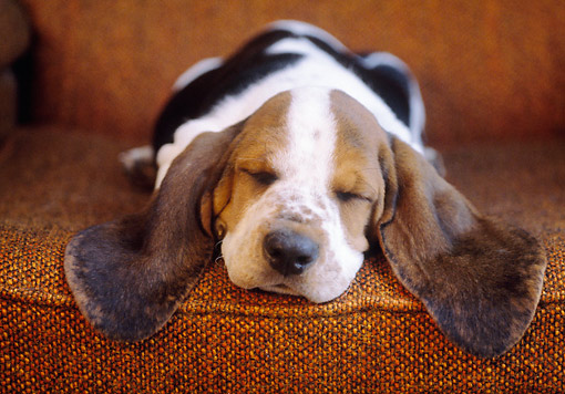 PUP 01 GR0051 01 © Kimball Stock Close-Up Of Basset Hound Puppy Sleeping In Chair