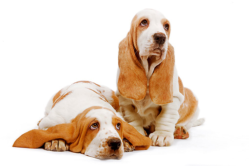 PUP 01 JE0007 01 © Kimball Stock Basset Hound Puppies Sitting And Laying On White Seamless