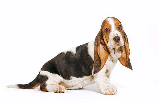 PUP 01 JE0011 01 © Kimball Stock Basset Hound Puppy Sitting On White Seamless