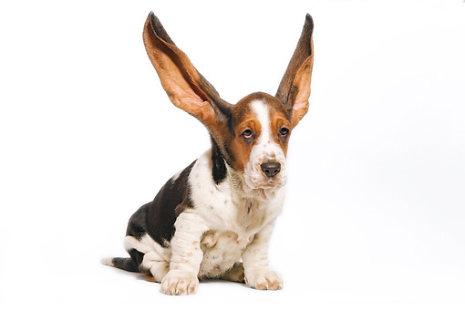 PUP 01 JE0012 01 © Kimball Stock Basset Hound Puppy Sitting On White Seamless With Ears Up