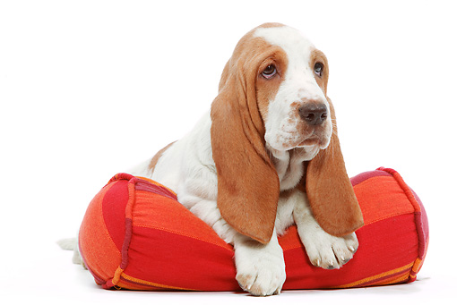 PUP 01 JE0015 01 © Kimball Stock Basset Hound Puppy Laying On Pillow White Seamless
