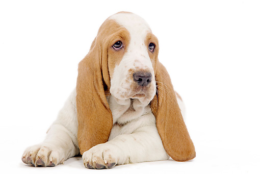 PUP 01 JE0031 01 © Kimball Stock Close-Up Of Basset Hound Puppy Laying On White Seamless