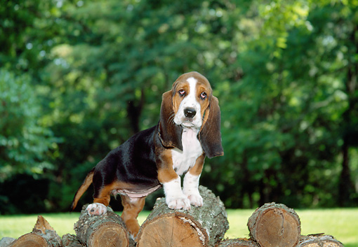 PUP 01 JN0001 01 © Kimball Stock Basset Hound Puppy Standing On Woodpile