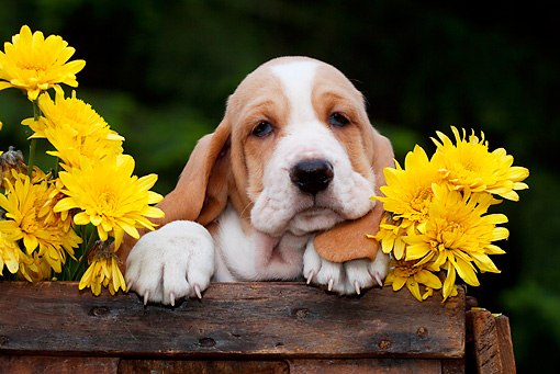 PUP 01 LS0004 01 © Kimball Stock Basset Hound Puppy Sitting In Wooden Box With Chrysanthemums