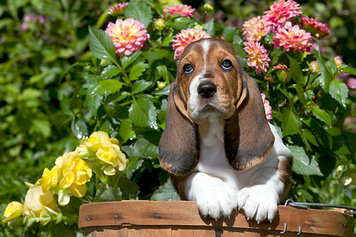 PUP 01 LS0010 01 © Kimball Stock Basset Hound Puppy Sitting In Peach Basket By Flowers