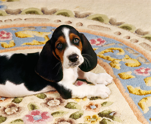 PUP 01 RK0014 01 © Kimball Stock Shoulder Shot Of Basset Hound Puppy Laying On Oriental Rug Facing Camera
