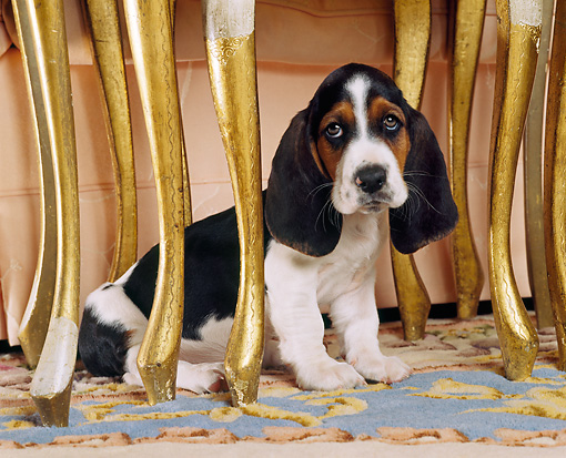 PUP 01 RK0015 03 © Kimball Stock Head Shot Of Basset Hound Puppy Sitting Underneath Table