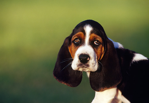 PUP 01 RK0019 22 © Kimball Stock Head Shot Of Basset Hound Puppy Facing Camera Green Background
