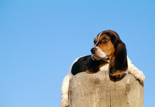 PUP 01 RK0029 01 © Kimball Stock Basset Hound Puppy Sitting On Wooden Stump Blue Sky