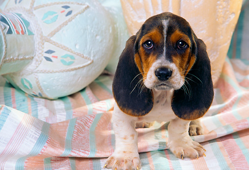 PUP 01 RK0033 01 © Kimball Stock Basset Hound Puppy Sitting By Pastel Vases And Cloth
